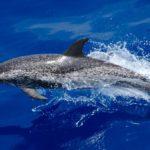Delfín moteado del Atlántico